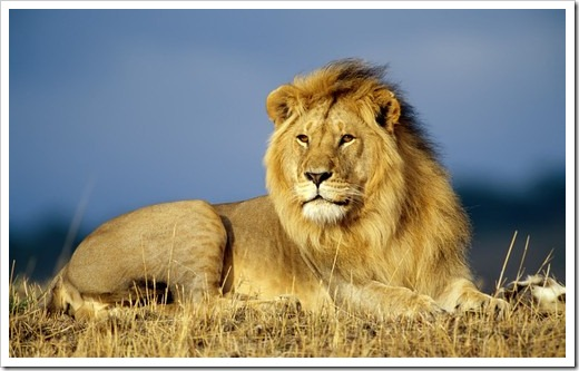 african_lion